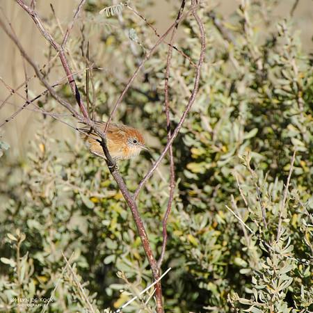 Rufous-crowned Emuwren, Santa Teresa Rd, NT, Aus, Jun 2012