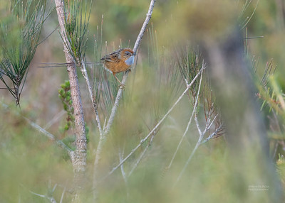 Southern Emu-wren, Vincentia, NSW, Oct 2018-2
