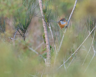 Southern Emu-wren, Vincentia, NSW, Oct 2018-1