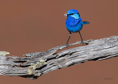 Splendid Fairywren, Round Hill NR, NSW, Oct 2018-4