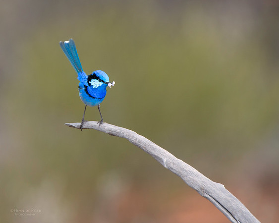 Splendid Fairy-wren, Gluepot, SA, Aug 2012-2
