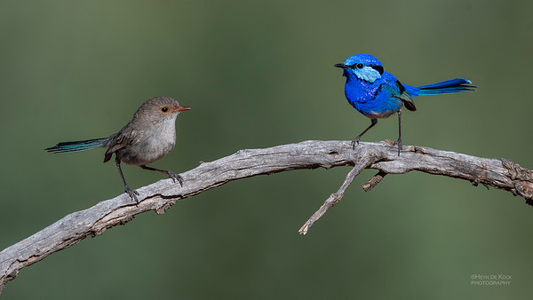 Splendid Fairywren, Round Hill NR, NSW, Oct 2018-5