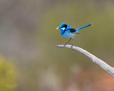 Splendid Fairy-wren, Gluepot, SA, Aug 2012-4