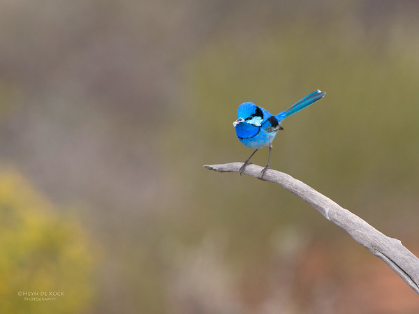 Splendid Fairy-wren, Gluepot, SA, Aug 2012-3