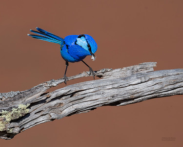 Splendid Fairywren, Round Hill NR, NSW, Oct 2018-3