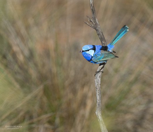 Splendid Fairy-wren, Gluepot, SA, Aus, Aug 2012-1
