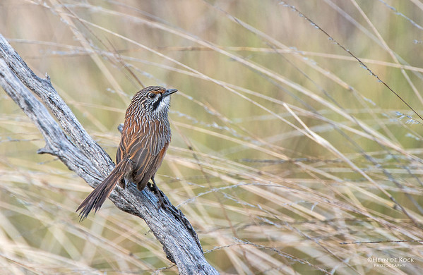 Striated Grasswren, Gluepot, SA, Aus, Aug 2012