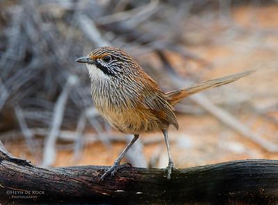 Striated Grasswren, Gluepot, SA, Aus, Oct 2011-1