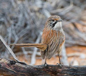 Striated Grasswren, Gluepot, SA, Aus, Oct 2011