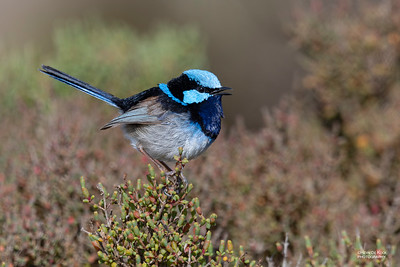 Superb Fairywren, Avalon, VIC, Oct 2018-2a