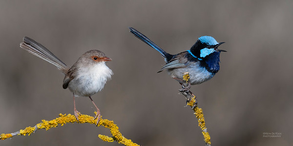 Superb Fairywren, Avalon, VIC, Oct 2018-1
