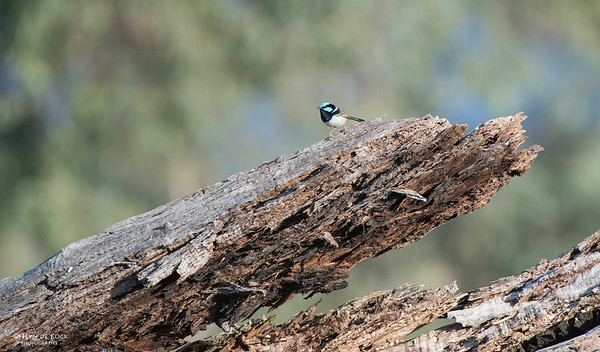 Superb Fairy-wren, Capertee Valley, NSW, Sep 2013-1