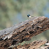 Superb Fairy-wren, Capertee Valley, NSW, Sep 2013-1