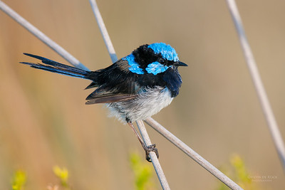 Superb Fairy-wren, Princetown, VIC, Mar 2010