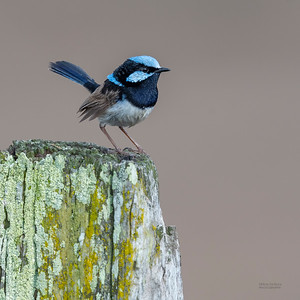 Superb Fairywren, Lockyer Valley, QLD, Oct 2018-1