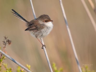 Superb Fairy-wren, f, Princetown, VIC, Mar 2010