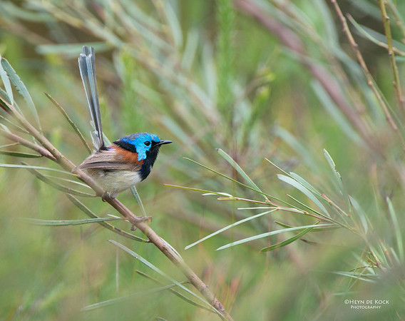 Variegated Fairy-wren, Booderee NP, NSW, Aus, Jan 2013