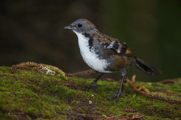 Australian Logrunner, Lamington NP, QLD, Dec 2014a