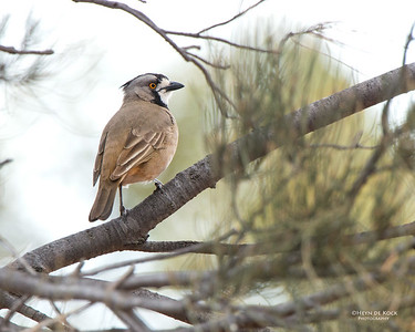 Crested Bellbird, Gluepot, SA, Aug 2012-1