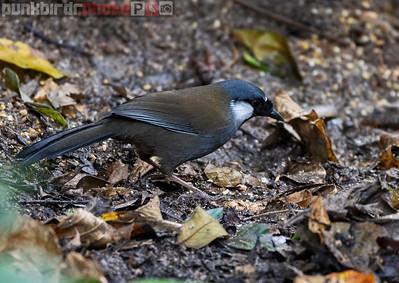 Black-throated Laughingthrush (Garrulax chinensis)