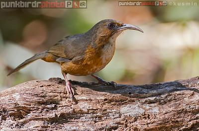 Rusty-cheeked Scimitar Babbler (Pomatorhinus erythrogenys)