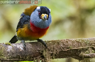 Toucan Barbet (Semnornis ramphastinus)