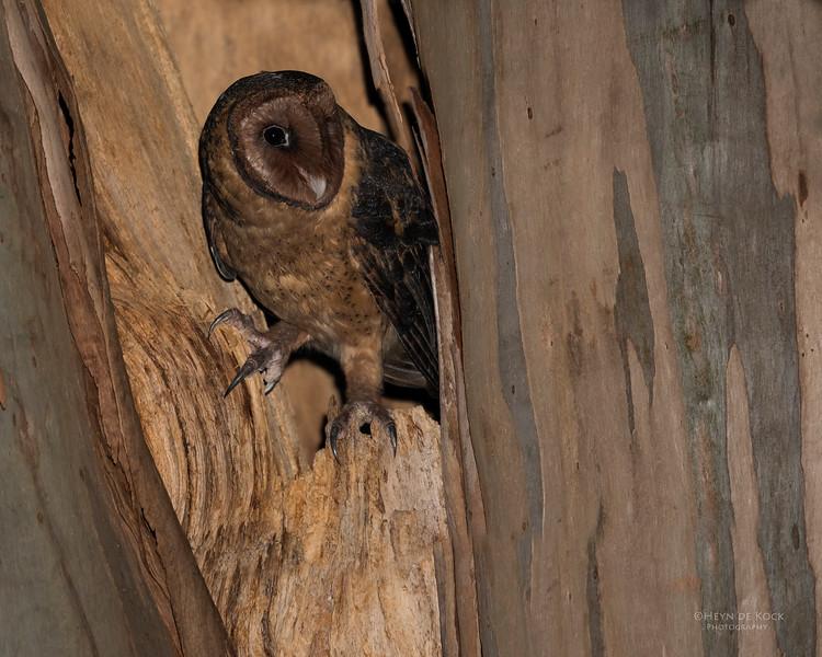 Masked Owl, Port Arthur, TAS, Sept 2016-1a