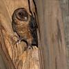 Masked Owl, Port Arthur, TAS, Sept 2016-3a
