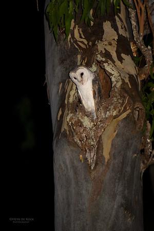 Eastern Barn Owl, Julatten, QLD, Dec 2014-1