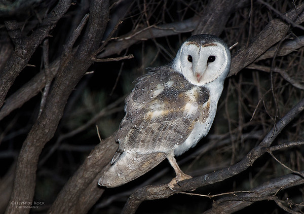 Eastern Barn Owl, Newhaven Station, NT, Aus, Jun 2012