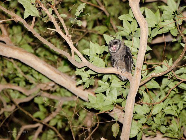 Sooty Owl, D'Anguilar NP, QLD, Sept 2011