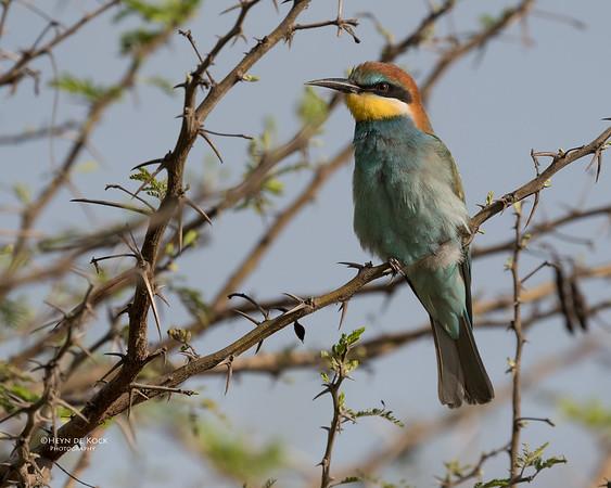 European Bee-eater, Phinda PGR, KZN, SA, Oct 2016-1