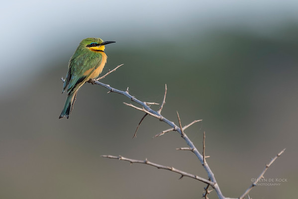 Little Bee-eater, Phinda PGR, KZN, SA, Oct 2016-1