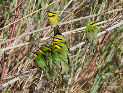 Little Bee-eater, Shakawe, Botswana, Jul 2011-2