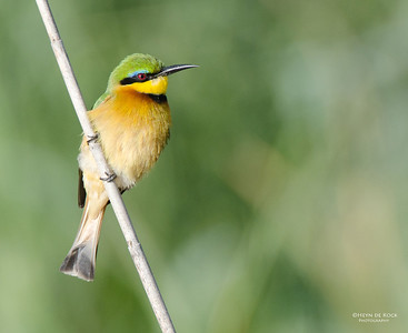 Little Bee-eater, Shakawe, Botswana, Jul 2011-1