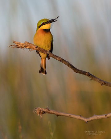 Little Bee-eater, Eagle Island, Okavango Delta, Botswana, May 2017-2