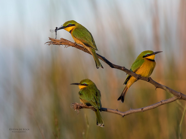 Little Bee-eater, Eagle Island, Okavango Delta, Botswana, May 2017-1