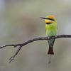 Rainbow Bea-eater, Gluepot, SA, Aus, Oct 2011