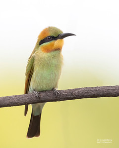 Rainbow Bee-eater, Townsville, QLD, Jan 2020-2