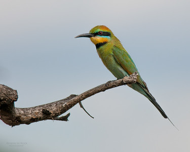 Rainbow Bee-eater, Kathrine, NT, Sept 2010