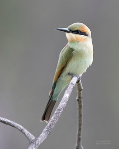 Rainbow Bee-eater, Townsville, QLD, Jan 2020-1