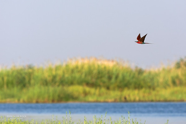 Southern Carmine Bee-eater, Chobe River, NAM, Oct 2016-1