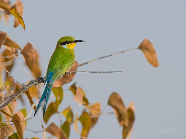 Swallow-tailed Bee-eater, Etosha NP, Namibia, July 2011