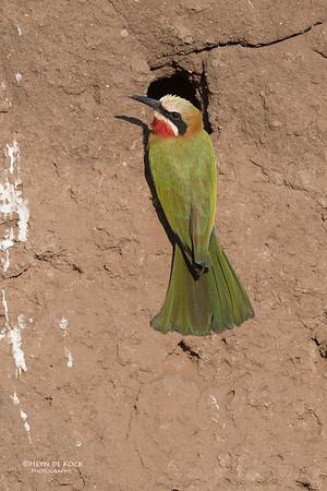 White-fronted Bee-eater, Mashatu GR, Botswana, May 2017-1