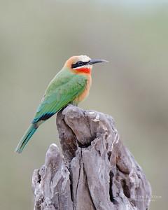 White-fronted Bee-eater, Chobe NP, Botswana, Jul 2011