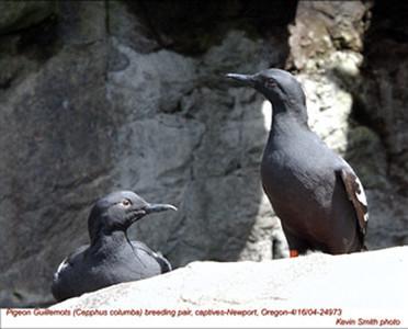 PigeonGuillemotsPair24973