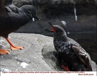 PigeonGuillemotsA&J24923