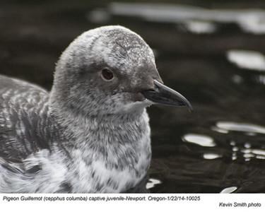 PigeonGuillemotJc20025