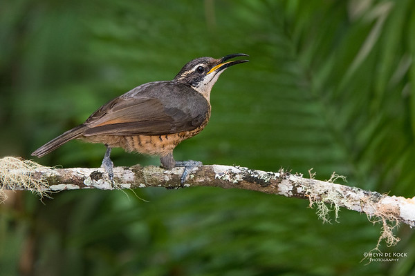 Victoria's Riflebird, f, Lake Eacham, QLD, Dec 2014-2