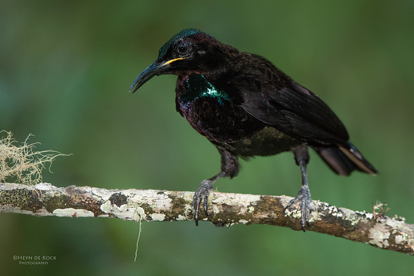 Victoria's Riflebird, Lake Eacham, QLD, Dec 2014-1